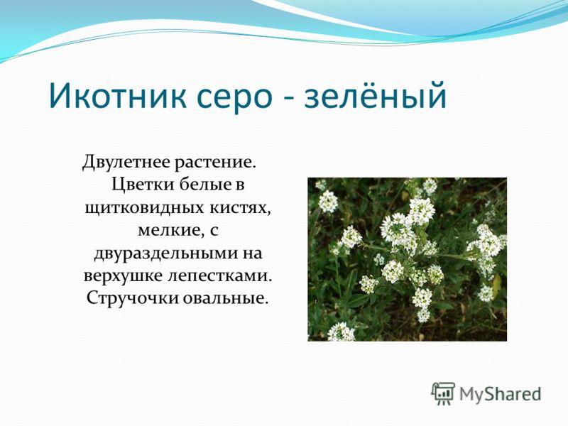 Икотник серо - зелёный Двулетнее растение. Цветки белые в щитковидных кистях, мелкие, с двураздельными на верхушке лепестками. Стручочки овальные.