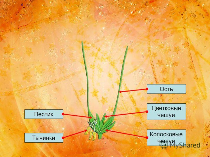 ОстьЦветковые чешуи Тычинки ПестикКолосковые чешуи