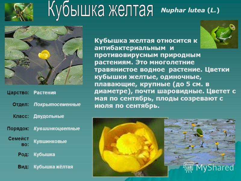 Кубышка желтая относится к антибактериальным и противовирусным природным растениям. Это многолетние травянистое водное растение. Цветки кубышки желтые, одиночные, плавающие, крупные (до 5 см. в диаметре), почти шаровидные. Цветет с мая по сентябрь, п