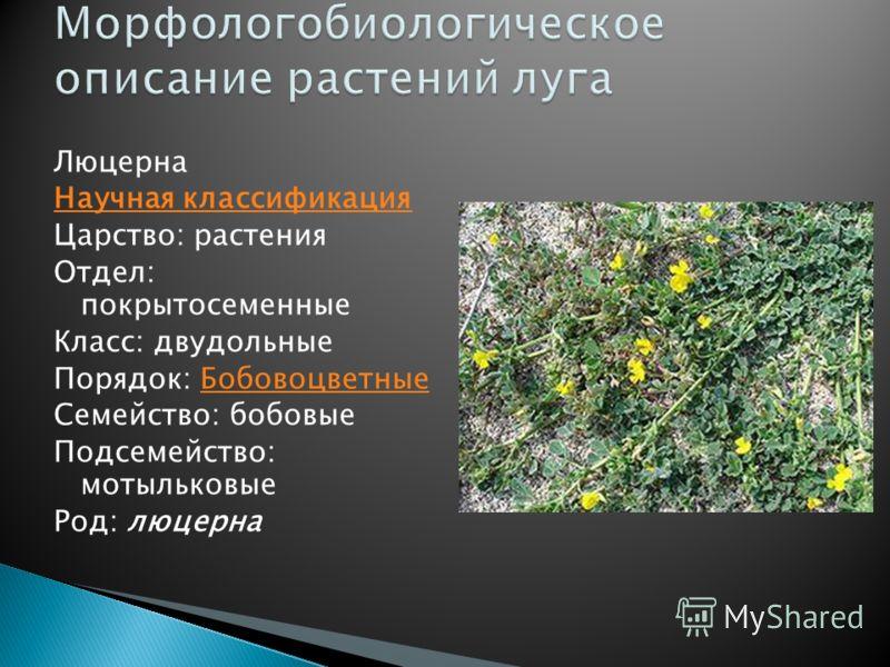 Люцерна Научная классификация Царство: растения Отдел: покрытосеменные Класс: двудольные Порядок: БобовоцветныеБобовоцветные Семейство: бобовые Подсемейство: мотыльковые Род: люцерна