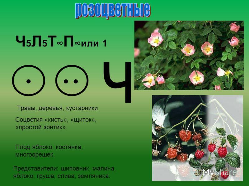 Ч 5 Л 5 Т П или 1 ч Травы, деревья, кустарники Соцветия «кисть», «щиток», «простой зонтик». Плод яблоко, костянка, многоорешек. Представители: шиповник, малина, яблоко, груша, слива, земляника.