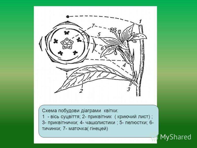 Схема побудови діаграми квітки: 1 - вісь суцвіття; 2- приквітник ( криючий лист) ; 3- приквітнички; 4- чашолистики ; 5- пелюстки; 6- тичинки; 7- маточка( гінецей)