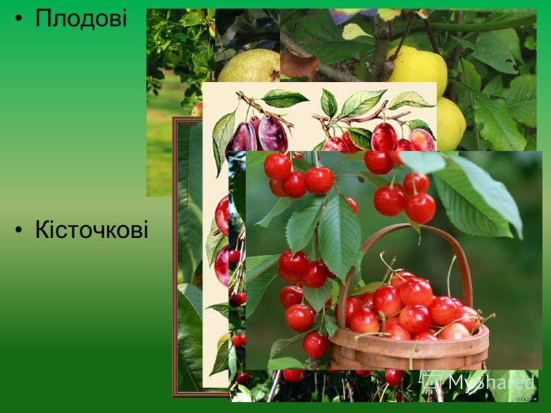 Плодові Кісточкові