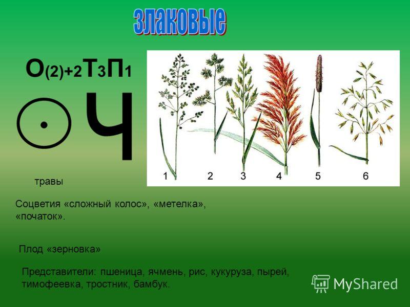 О (2)+2 Т 3 П 1 ч травы Соцветия «сложный колос», «метелка», «початок». Плод «зерновка» Представители: пшеница, ячмень, рис, кукуруза, пырей, тимофеевка, тростник, бамбук.