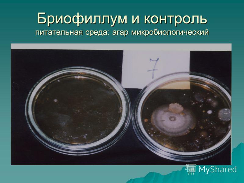 Бриофиллум и контроль питательная среда: агар микробиологический