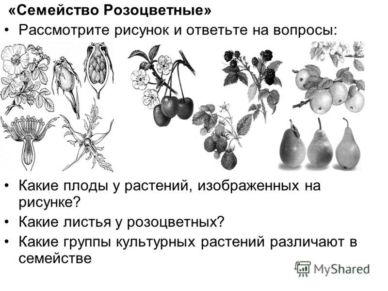 «Семейство Розоцветные» Рассмотрите рисунок и ответьте на вопросы: Какие плоды у растений, изображенных на рисунке? Какие листья у розоцветных? Какие группы культурных растений различают в семействе