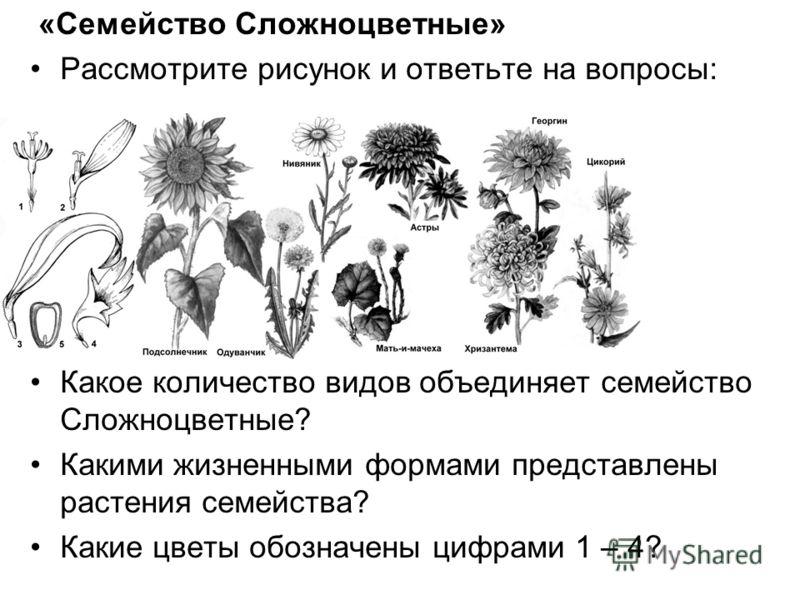 «Семейство Сложноцветные» Рассмотрите рисунок и ответьте на вопросы: Какое количество видов объединяет семейство Сложноцветные? Какими жизненными формами представлены растения семейства? Какие цветы обозначены цифрами 1 – 4?