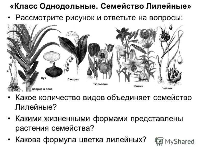 «Класс Однодольные. Семейство Лилейные» Рассмотрите рисунок и ответьте на вопросы: Какое количество видов объединяет семейство Лилейные? Какими жизненными формами представлены растения семейства? Какова формула цветка лилейных?