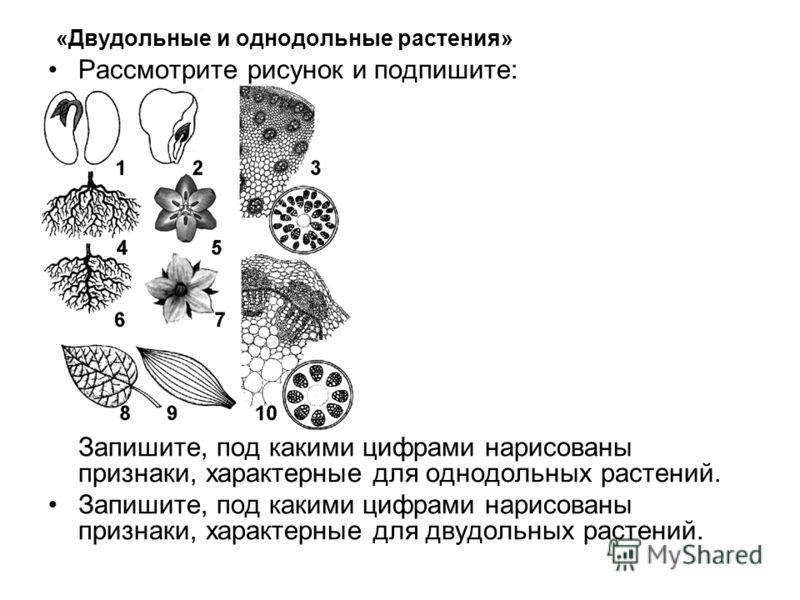«Двудольные и однодольные растения» Рассмотрите рисунок и подпишите: Запишите, под какими цифрами нарисованы признаки, характерные для однодольных растений. Запишите, под какими цифрами нарисованы признаки, характерные для двудольных растений.