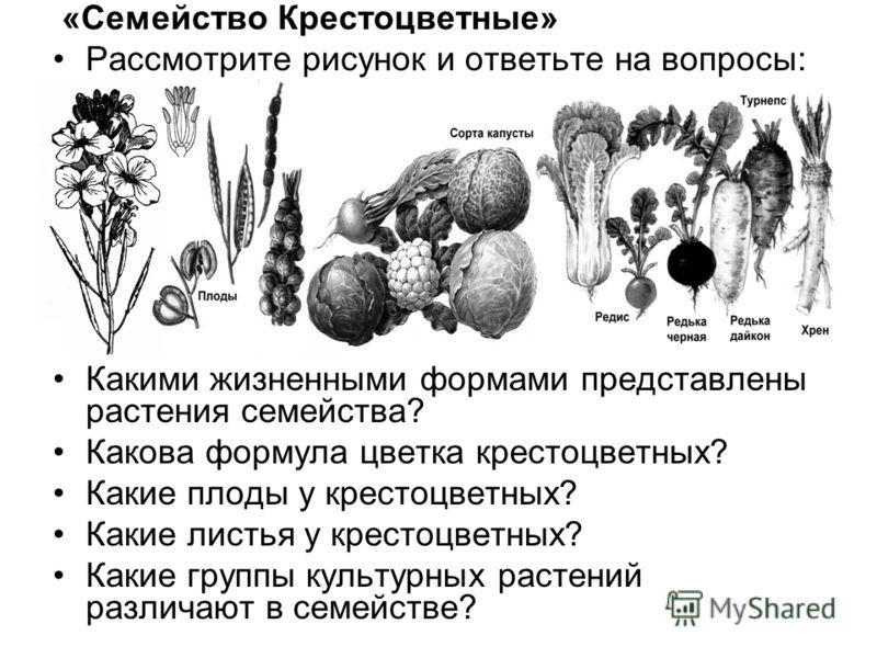 «Семейство Крестоцветные» Рассмотрите рисунок и ответьте на вопросы: Какими жизненными формами представлены растения семейства? Какова формула цветка крестоцветных? Какие плоды у крестоцветных? Какие листья у крестоцветных? Какие группы культурных ра