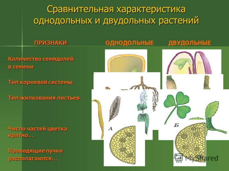 Сравнительная характеристика однодольных и двудольных растений ПРИЗНАКИ Количество семядолей в семени Тип корневой системы Тип жилкования листьев Число частей цветка кратно… Проводящие пучки располагаются… ОДНОДОЛЬНЫЕДВУДОЛЬНЫЕ 1 2 мочковатая стержне
