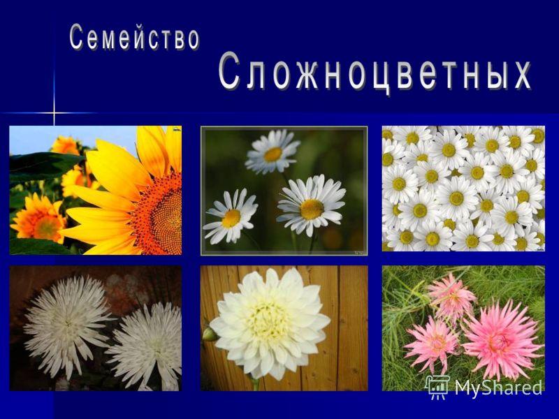 1800 видов по всей земной суше. В Пермской области только 1 дикорастущий вид- касатик сибирский. Многолетние травянистые растения. С мясистыми корневищами, клубнями и луковицами. Представлен цветной стрелкой. Листья простые, мечевидные, иногда узкие,
