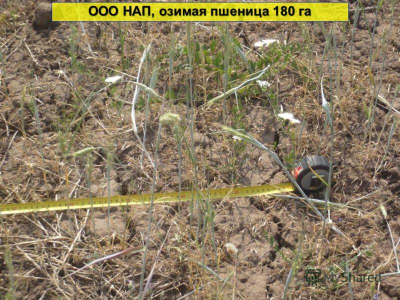 ООО НАП, озимая пшеница 180 га
