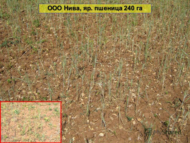 ООО Нива, яр. пшеница 240 га