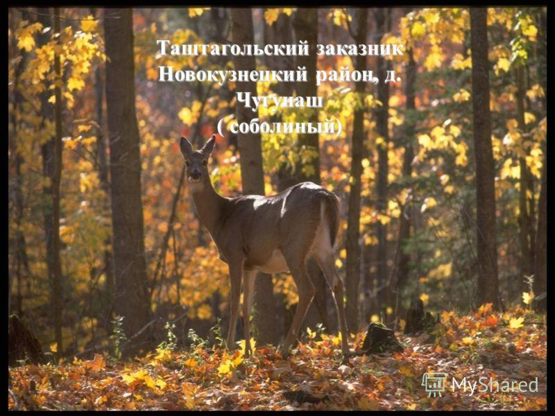 Таштагольский заказник Новокузнецкий район, д. Чугунаш ( соболиный)