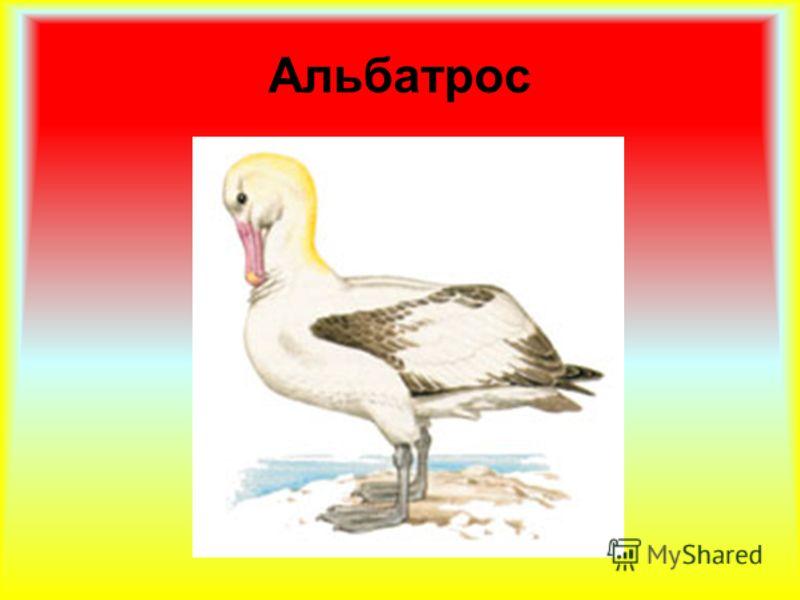 Альбатрос