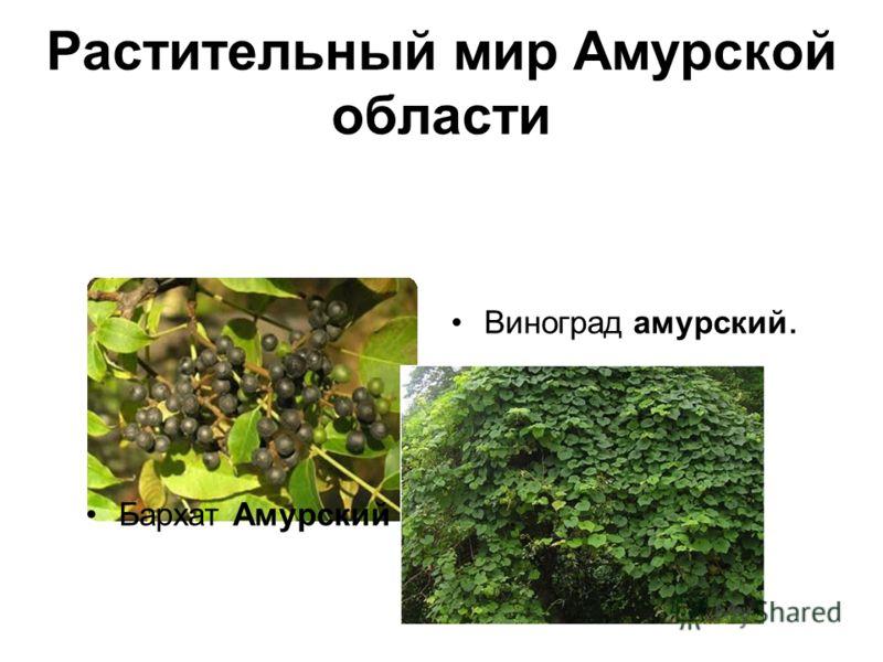 Растительный мир Амурской области Бархат Амурский Виноград амурский.