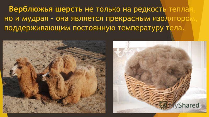 Верблюжья шерсть не только на редкость т еплая, но и мудрая - она является прекрасным изолятором, поддерживающим постоянную температуру тела.