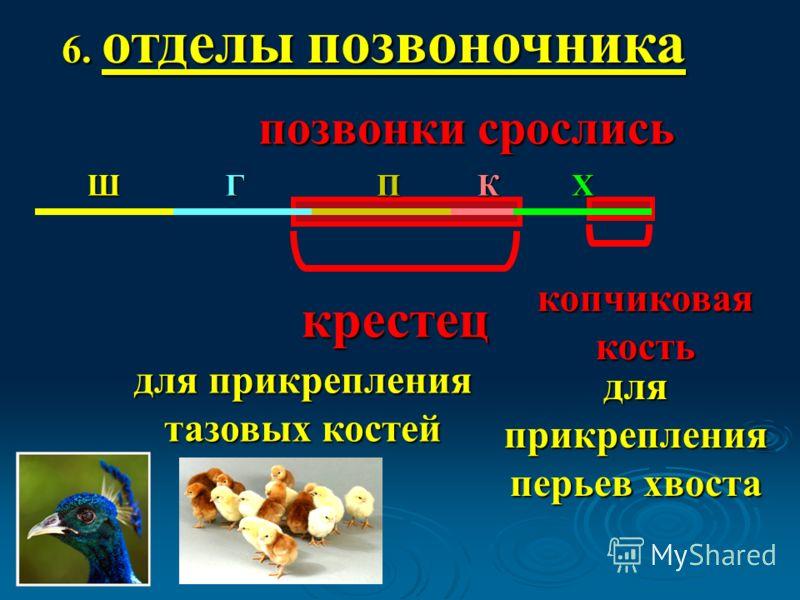 6. отделы позвоночника крестец позвонки срослись копчиковая кость для прикрепления тазовых костей для прикрепления перьев хвоста ШГПКХ