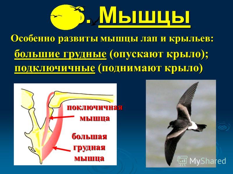 6. Мышцы Особенно развиты мышцы лап и крыльев: большие грудные (опускают крыло); подключичные (поднимают крыло) поключичная мышца большая грудная мышца