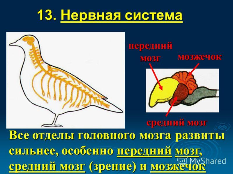 13. Нервная система Все отделы головного мозга развиты сильнее, особенно передний мозг, средний мозг (зрение) и мозжечок мозжечок средний мозг передний мозг