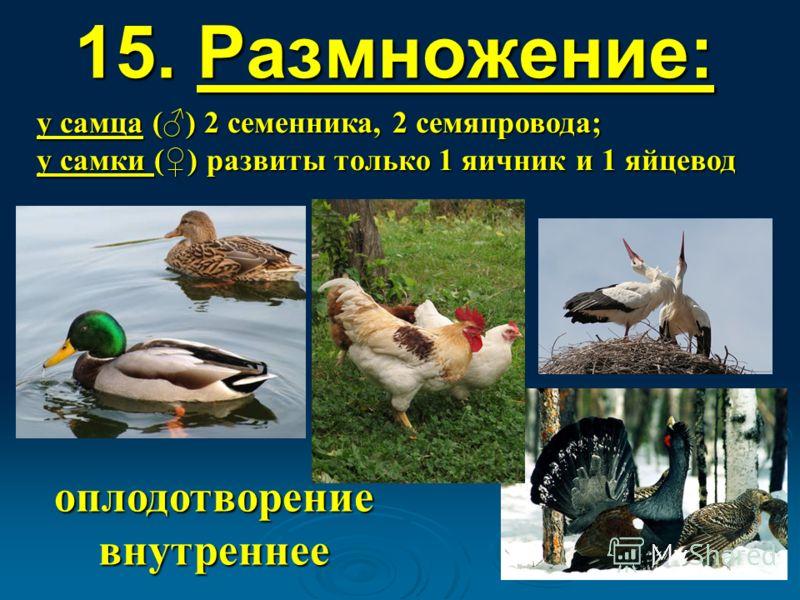 15. Размножение: оплодотворение внутреннее у самца () 2 семенника, 2 семяпровода; у самки () развиты только 1 яичник и 1 яйцевод