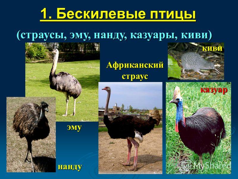 1. Бескилевые птицы (страусы, эму, нанду, казуары, киви) киви казуар нанду эму Африканский страус