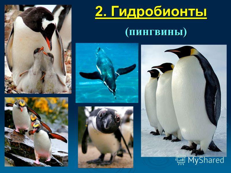 2. Гидробионты (пингвины)