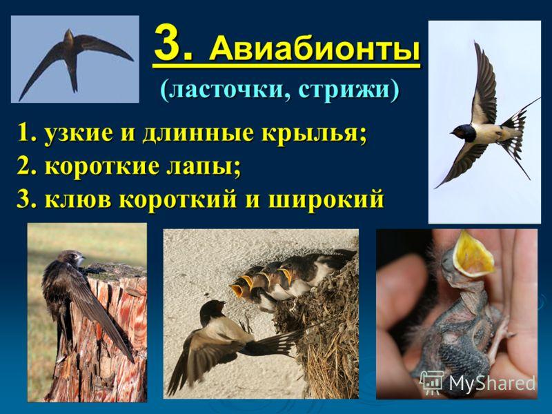 3. Авиабионты (ласточки, стрижи) 1. узкие и длинные крылья; 2. короткие лапы; 3. клюв короткий и широкий