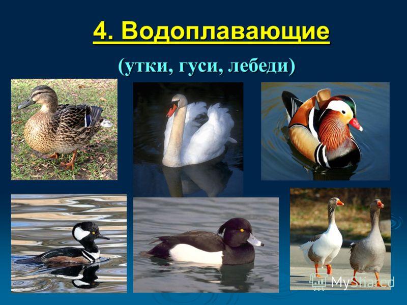 4. Водоплавающие (утки, гуси, лебеди)
