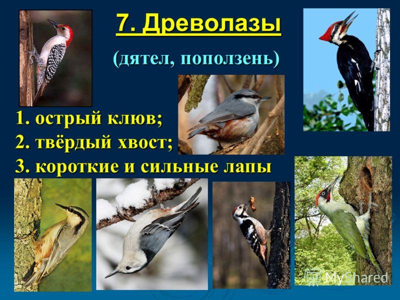 7. Древолазы (дятел, поползень) 1. острый клюв; 2. твёрдый хвост; 3. короткие и сильные лапы