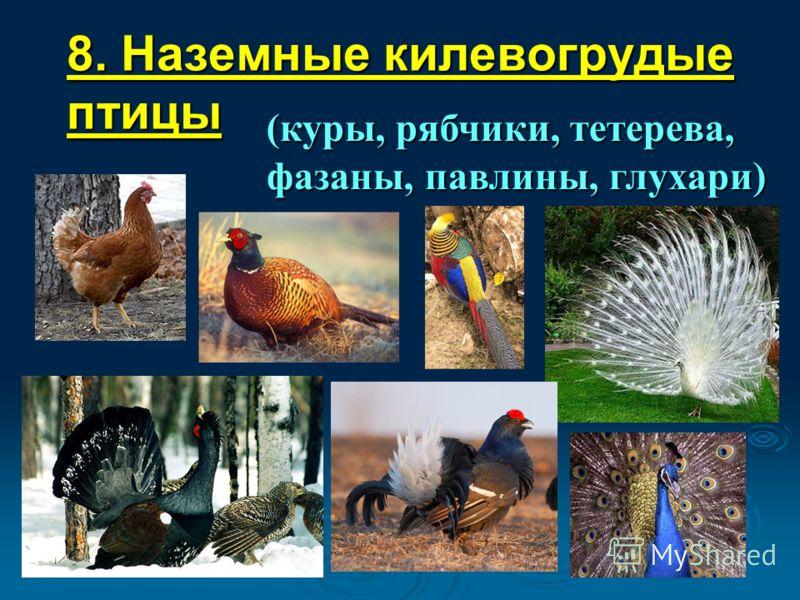 8. Наземные килевогрудые птицы (куры, рябчики, тетерева, фазаны, павлины, глухари)