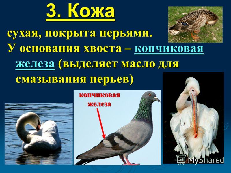 3. Кожа сухая, покрыта перьями. У основания хвоста – копчиковая железа (выделяет масло для смазывания перьев) копчиковая железа