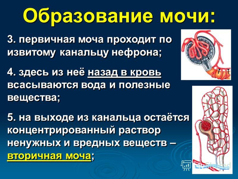 Образование мочи: 3. первичная моча проходит по извитому канальцу нефрона; 4. здесь из неё назад в кровь всасываются вода и полезные вещества; 5. на выходе из канальца остаётся концентрированный раствор ненужных и вредных веществ – вторичная моча; 3.