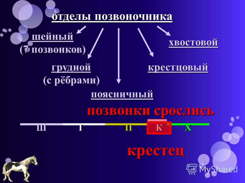 отделы позвоночника шейный (7 позвонков) грудной (с рёбрами) поясничный крестцовый хвостовой крестец позвонки срослись ШГПКХ