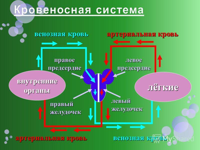 лёгкие внутренние органы правый желудочек правое предсердие левое предсердие артериальная кровь венозная кровь артериальная кровь венозная кровь левый желудочек