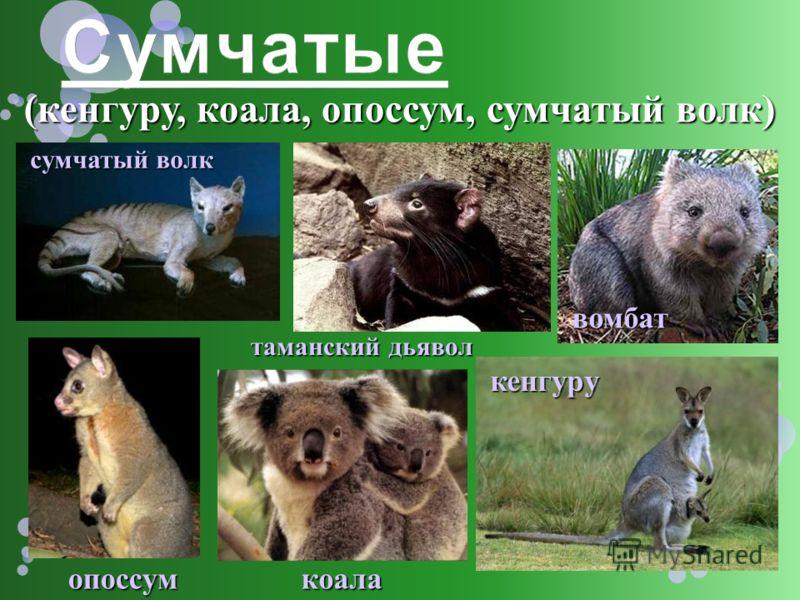 (кенгуру, коала, опоссум, сумчатый волк) опоссум кенгуру сумчатый волк таманский дьявол вомбат коала
