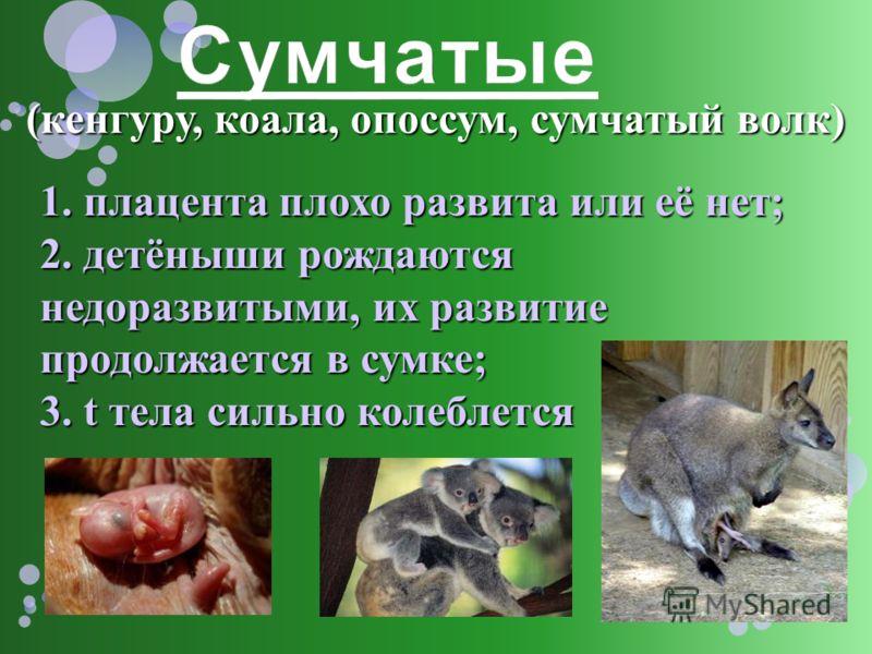 (кенгуру, коала, опоссум, сумчатый волк) 1. плацента плохо развита или её нет; 2. детёныши рождаются недоразвитыми, их развитие продолжается в сумке; 3. t тела сильно колеблется