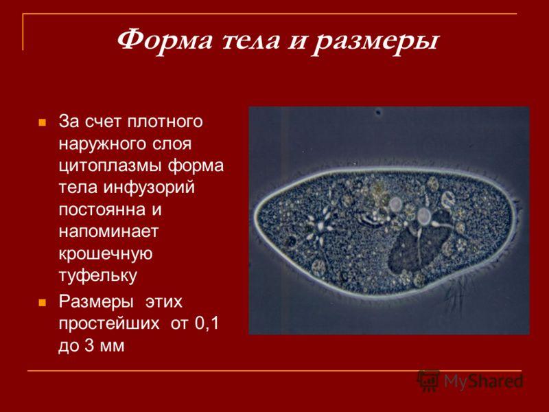 Форма тела и размеры За счет плотного наружного слоя цитоплазмы форма тела инфузорий постоянна и напоминает крошечную туфельку Размеры этих простейших от 0,1 до 3 мм