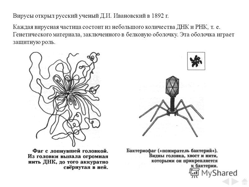 Вирусы открыл русский ученый Д.И. Ивановский в 1892 г. Каждая вирусная частица состоит из небольшого количества ДНК и РНК, т. е. Генетического материала, заключенного в белковую оболочку. Эта оболочка играет защитную роль.