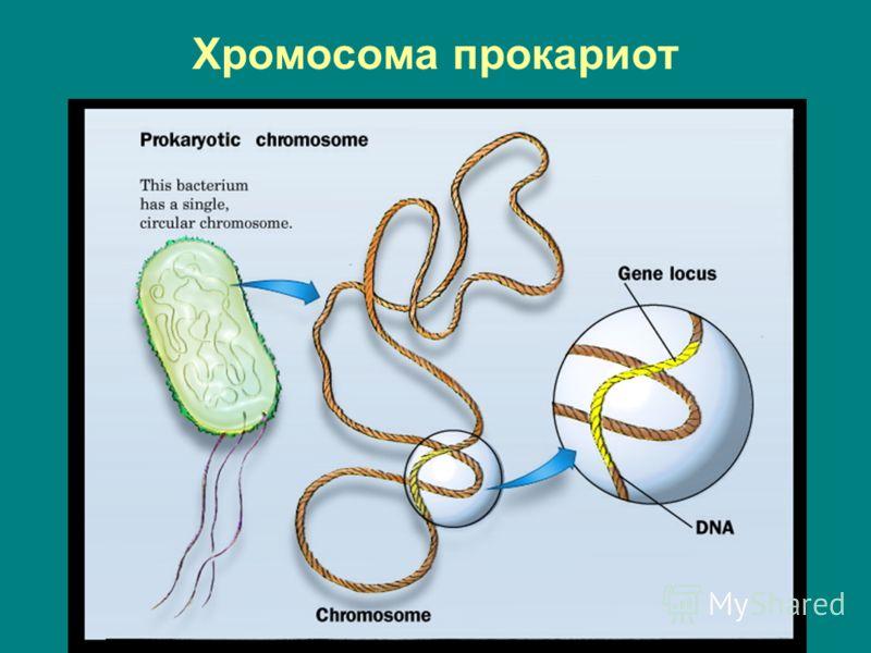 Хромосома прокариот