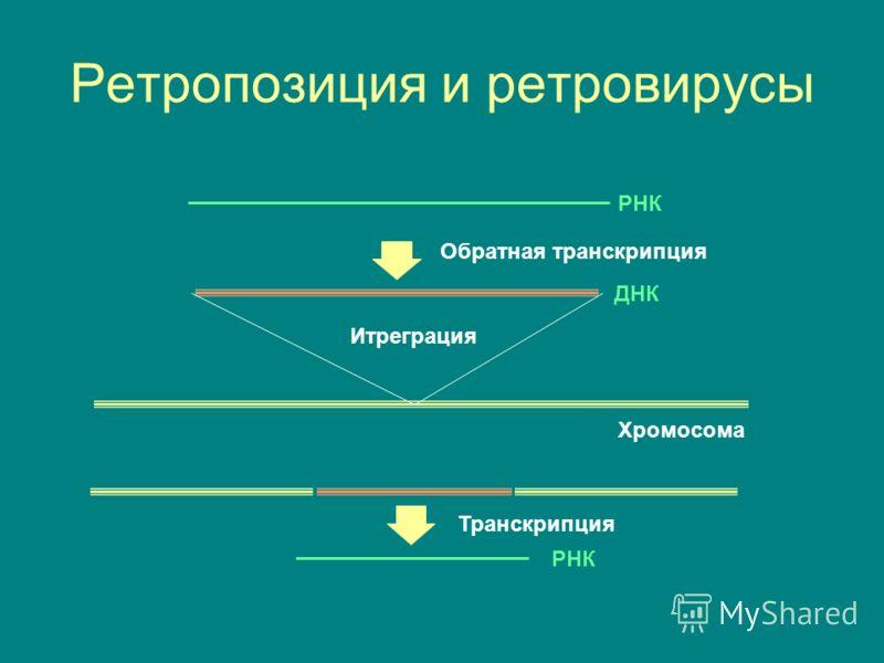 Ретропозиция и ретровирусы Обратная транскрипция Итреграция РНК ДНК Хромосома РНК Транскрипция