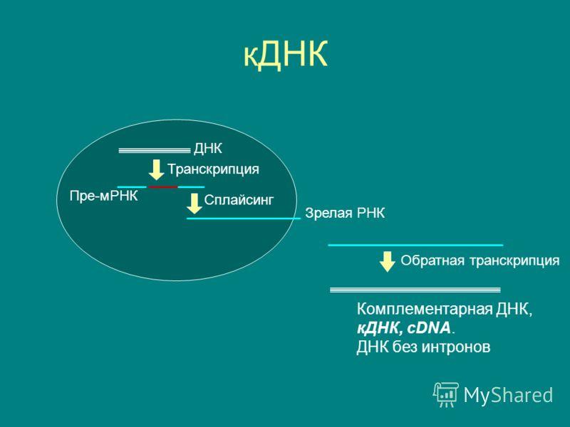 кДНК ДНК Транскрипция Сплайсинг Пре-мРНК Зрелая РНК Обратная транскрипция Комплементарная ДНК, кДНК, cDNA. ДНК без интронов