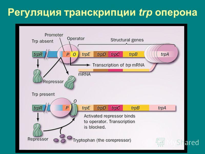 Регуляция транскрипции trp оперона