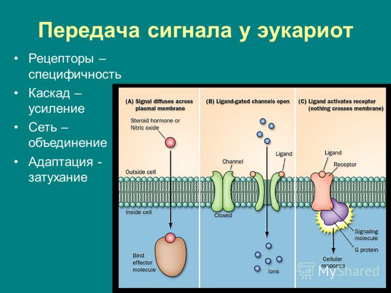 Передача сигнала у эукариот Рецепторы – специфичность Каскад – усиление Сеть – объединение Адаптация - затухание