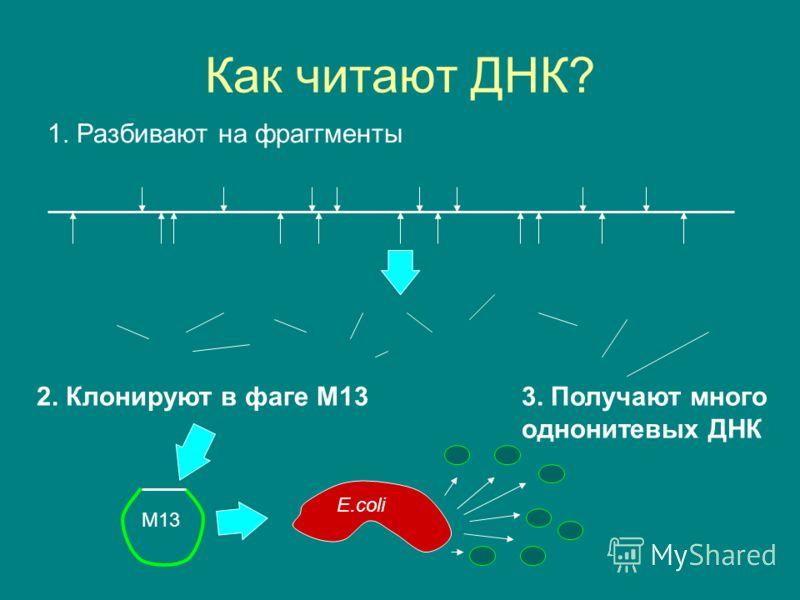 Как читают ДНК? M13 E.coli 1. Разбивают на фраггменты 2. Клонируют в фаге M133. Получают много однонитевых ДНК