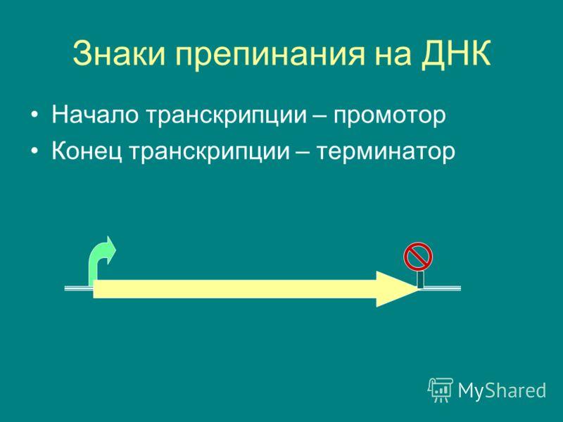 Знаки препинания на ДНК Начало транскрипции – промотор Конец транскрипции – терминатор
