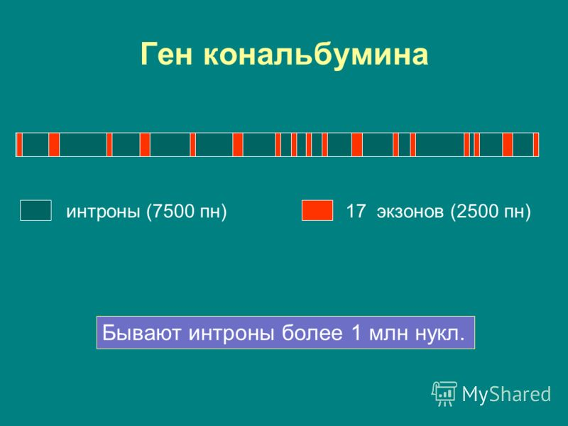 Ген кональбумина интроны (7500 пн)17 экзонов (2500 пн) Бывают интроны более 1 млн нукл.