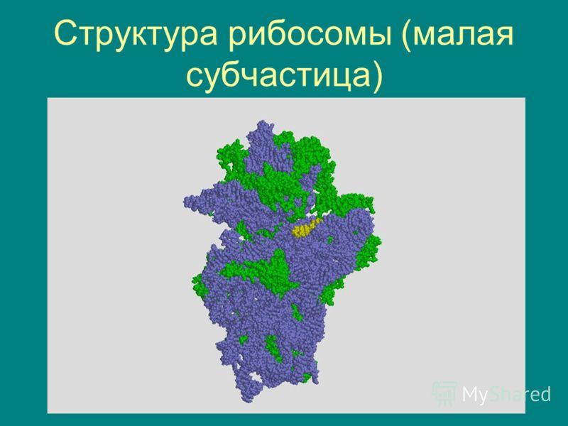 Структура рибосомы (малая субчастица)