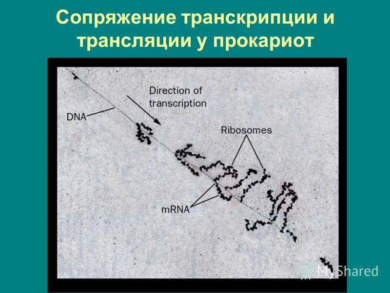Сопряжение транскрипции и трансляции у прокариот